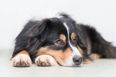 Australian Shepherd Large Dog Breed 400